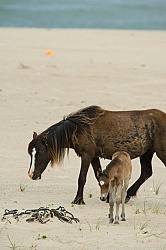 Sable Island Mare and Foal on the Beach