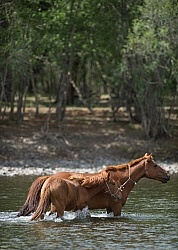 Mare and Foal Cross the River Near the Ranch