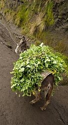 A Donkey wiht a Full Load