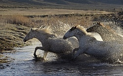 Horses Running Through Water