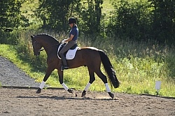 Oldenburg Schoolng Dressage