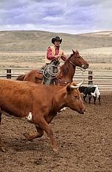 Working Ranch Horse Working Cattle