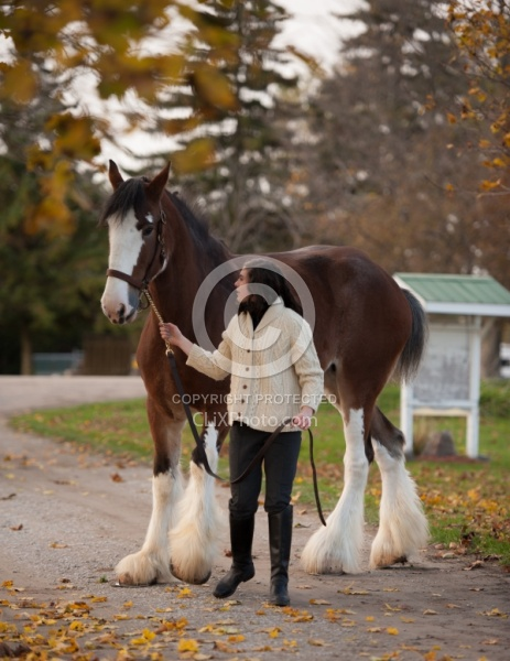 Clydesdale with People