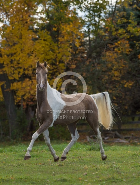 Spotted Saddle Horse Free Running Vertical Bonnie View Farms Spotted Saddle Horse Free Running