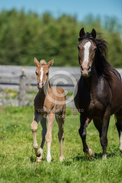 Rocky Mountain Mare and Foal