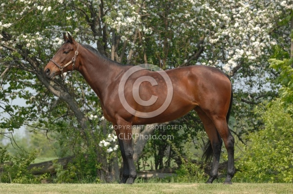 Thoroughbred Conformation